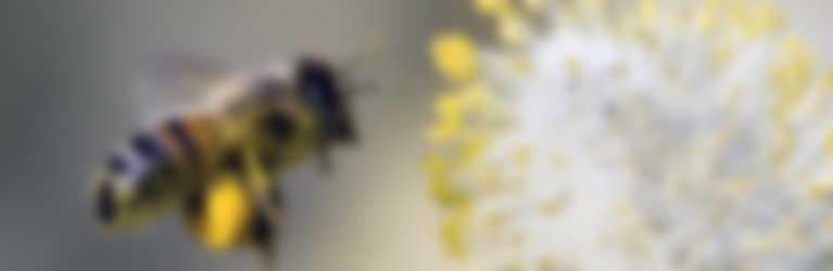 Eine süsse Biene mit Pollen an den Füsschen