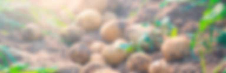 Die tolle Knolle in ihrer natürlichen Umgebung mit Grün