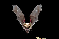 Wildfires Benefits Bats – Study Used...