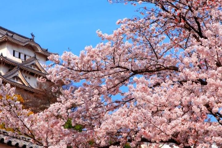 Osaka Spring Daytime (Cherry Blossom) Food Tour image