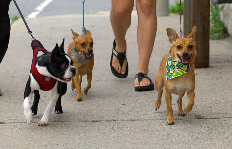 dog walking jobs boston