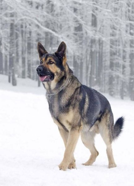 Top 10 Strongest Dog Breeds in the World : Pets