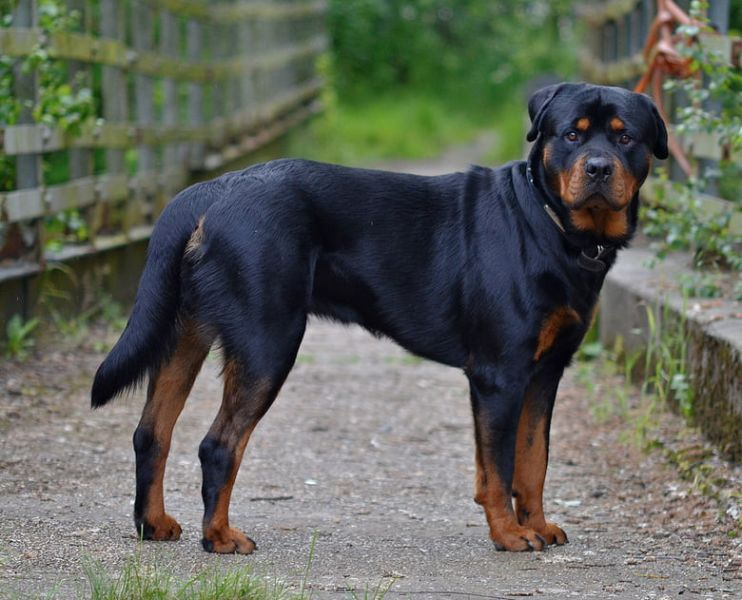 Top 10 Most Expensive Dog Breeds In the World : Pets