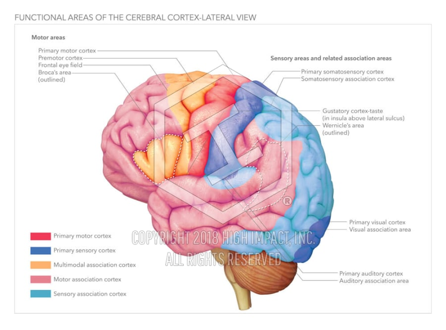 Functional Areas of the Cerebral Cortex | High Impact® Visual ...