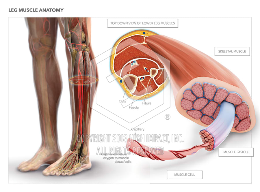 Leg Muscle Anatomy High Impact Visual Litigation Strategies