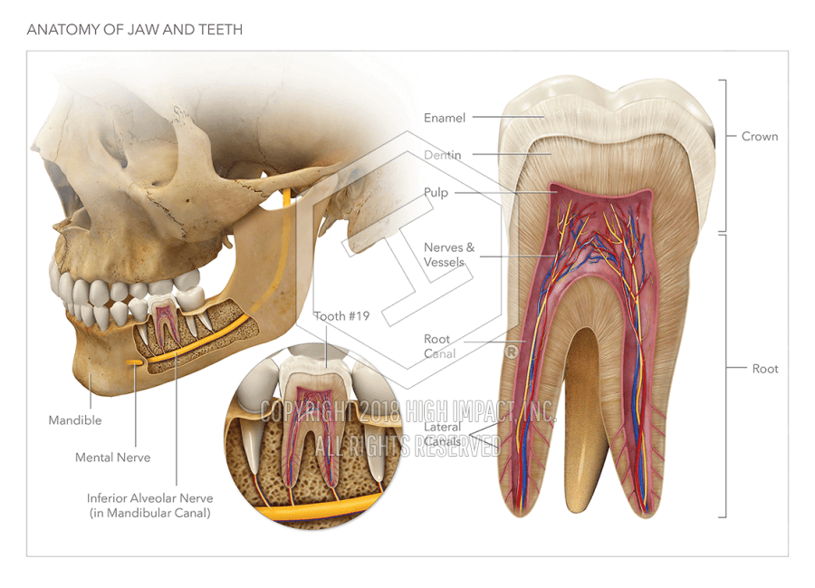 Anatomy of the Jaw and Teeth | High Impact® Visual Litigation ...