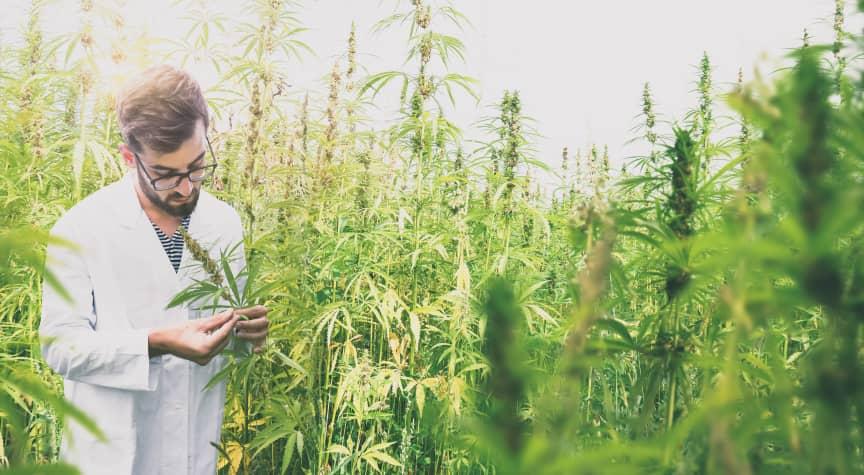 Are Cannabis Degrees Legit?