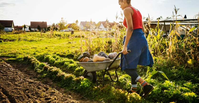 A woman in a brightly-colored sleeveless shirt and a skirt over a pair of jeans pushes a wheelbarrow full of gourds across a community garden in a residential neighborhood.