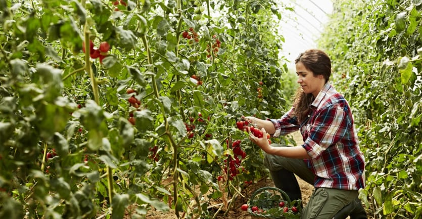 A woman in a flannel shirt and work pants kneels down among rows of tomatoes in a greenhouse to pick a few choice samples.