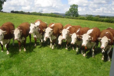 Happy Cows Make Better Beef