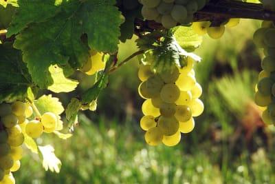 Rewriting Wine 101: Freshness and Ripeness in Wine