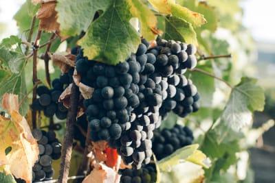 China's Vines
