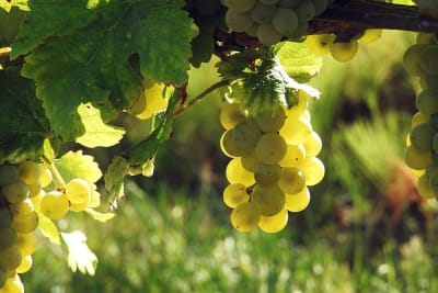 Rewriting Wine 101: Freshness and Ripeness in Wine