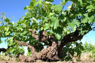 Rewriting Wine 101: Wine Made from Old Vines