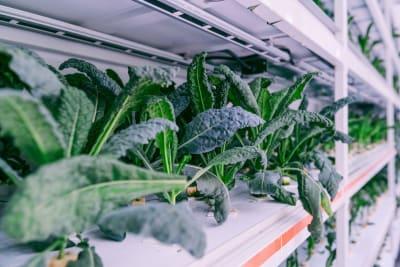 Kale Grown in Hong Kong, for Hong Kong