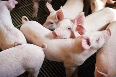 European Pork, from Denmark: Animal Welfare