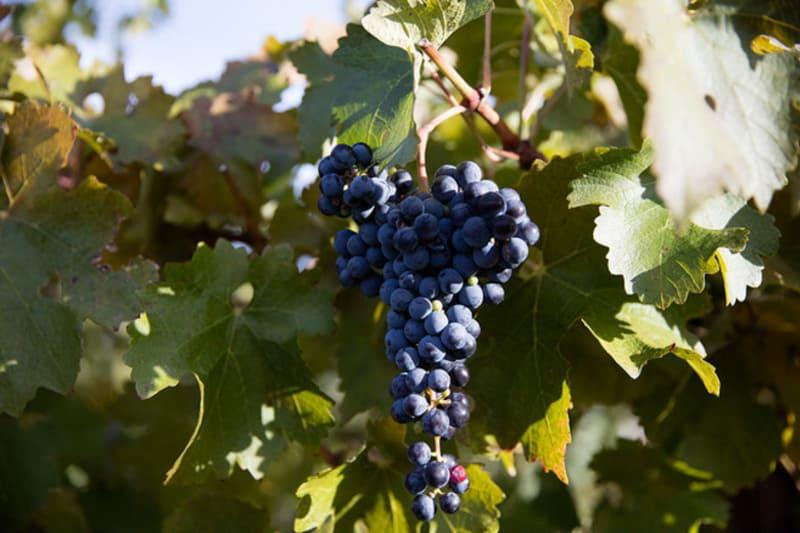 Rewriting Wine 101: Syrah or Shiraz? Pinot Grigio or Pinot Gris?