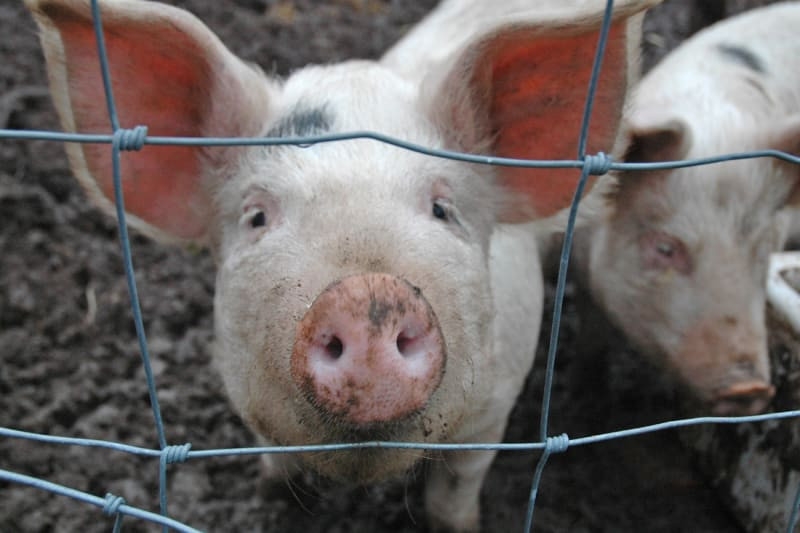 Livestock in China Contains Bacteria That Can No Longer Be Killed by Antibiotics