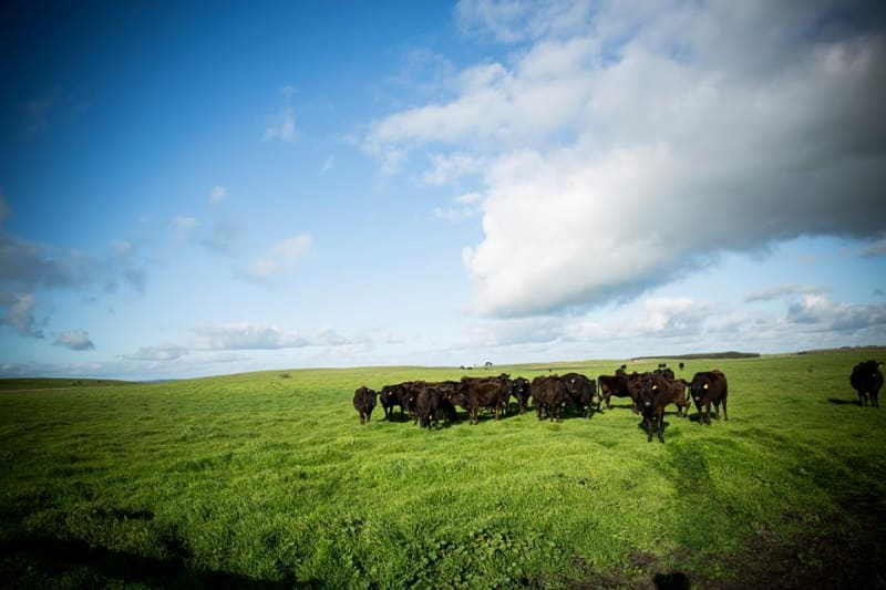 Australia-Based Mayura Station Debuts Beef from Chocolate-Fed Cattle