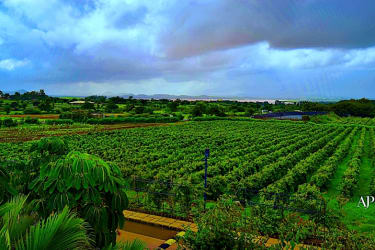 Sula Vineyards in India