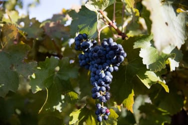 Rewriting Wine 101: Syrah or Shiraz? Pinot Grigio or Pinot Gris?
