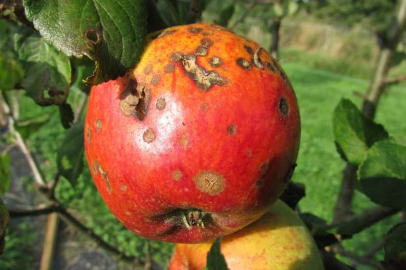 Food Tech Bites: GMO Apples that Don't Turn Brown