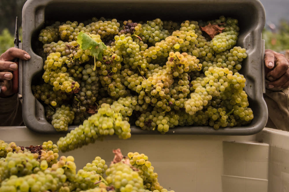 Harvesting Chardonnay grapes
