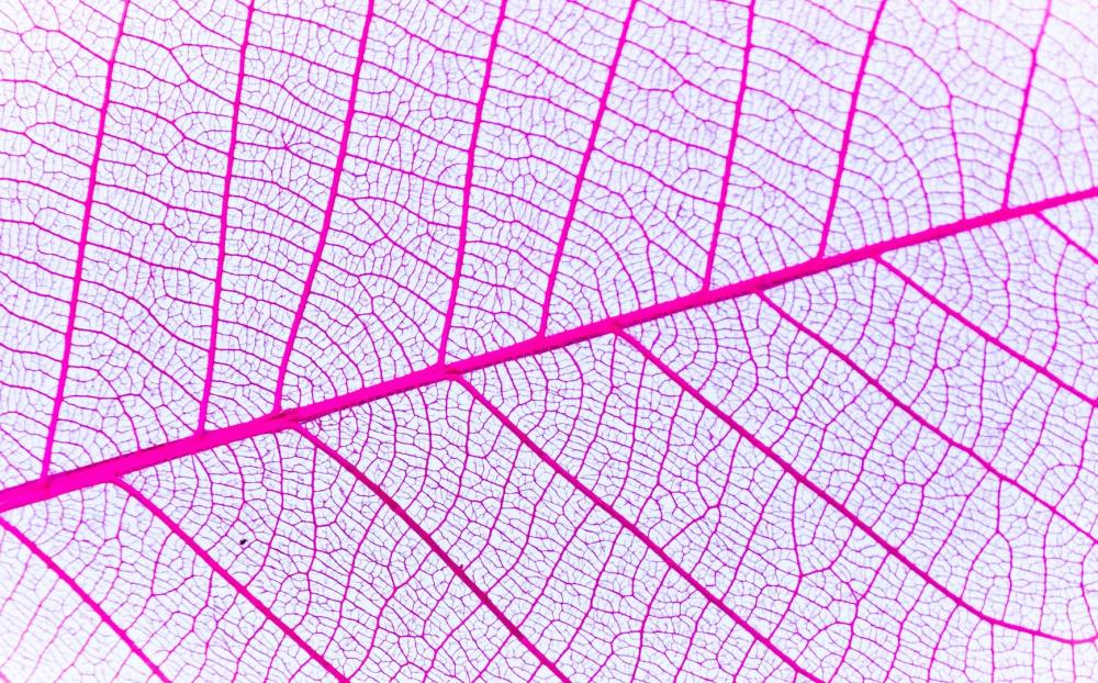 Banana Leaf Veins