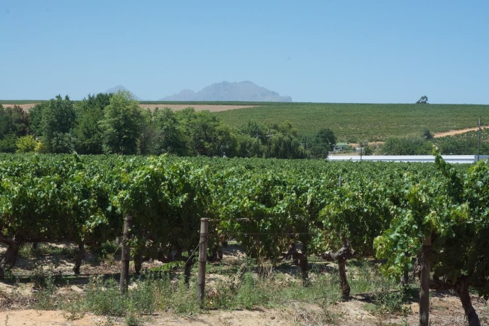Pinotage vineyards