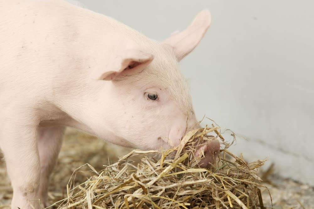 European pork from Denmark