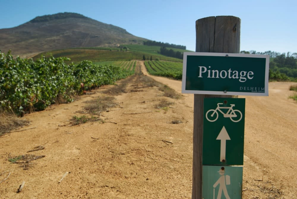 Pinotage vineyard