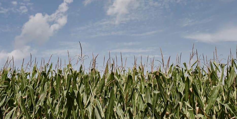 Corn, Barley, Rye