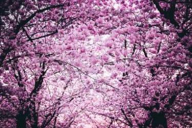 doogweed in bloom