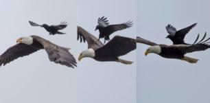 crow on eagles back