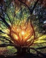 Oak Tree image - author unknown