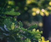 oak tree image by sorin gheorghita