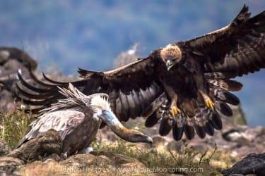 eagle and vulture image