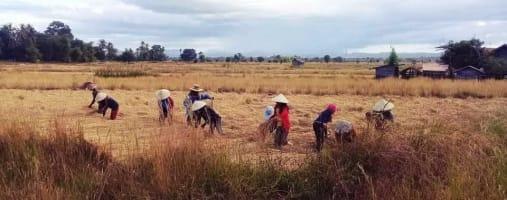 laos fields