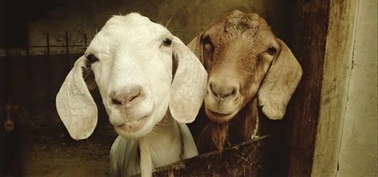 goats image