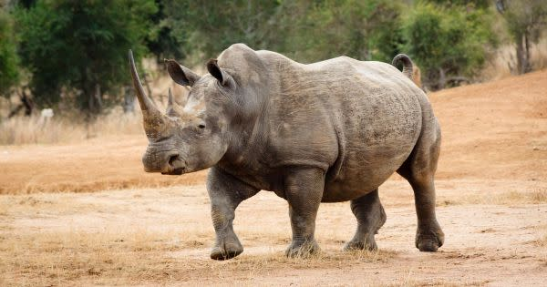 Synthetic Rhino Horns Are Being Created to Flood Markets and Eradicate Poaching