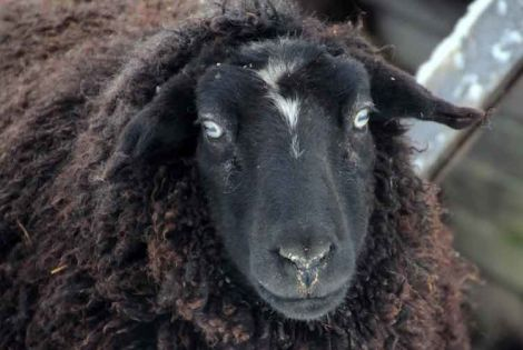 NZ company develops face recognition for sheep