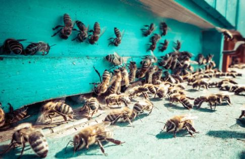 Trial shows 'superfood' for bees increases crop yield