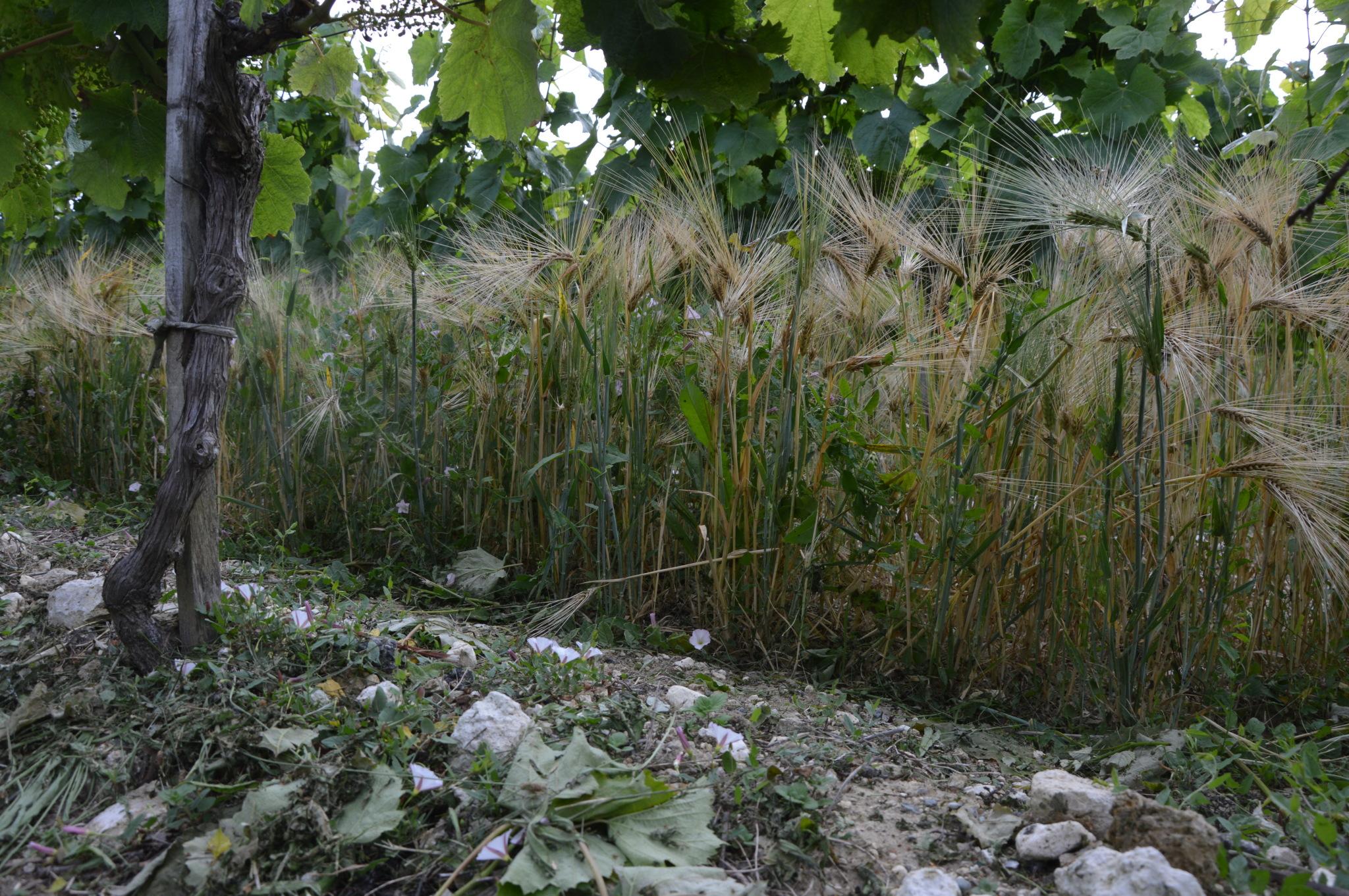 Travail du sol en agriculture biologique