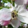 image_thumb_Croque la pomme, un verger bio à Coutances