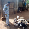 image_thumb_Etude d'impact sur le microcrédit animal au Togo et Bénin