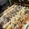 image_thumb_250 essaims d'abeilles pour remonter notre ferme