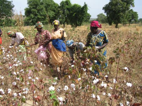Une Charrue et des boeufs pour les femmes de Mèkoungo au Mali