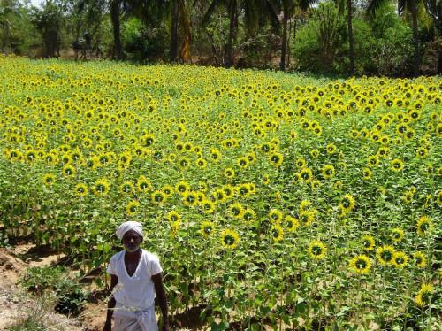 La bio-agriculture chez des chasseurs professionnels de serpents en Inde...