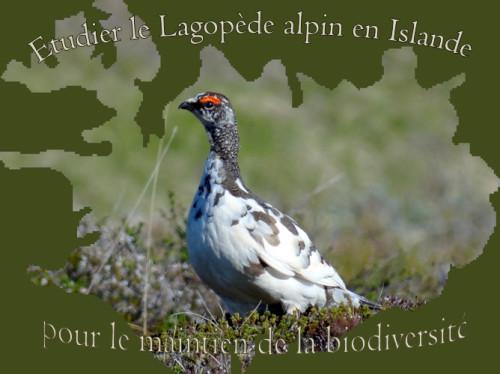 Etudier un oiseau en Islande