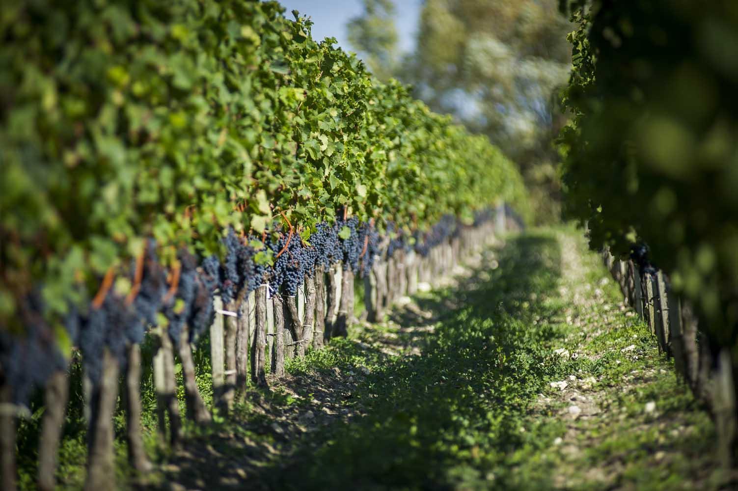 suivi de la vigne en agriculture biologique